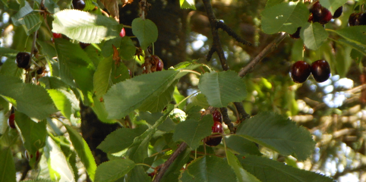 Les cerises du jardin